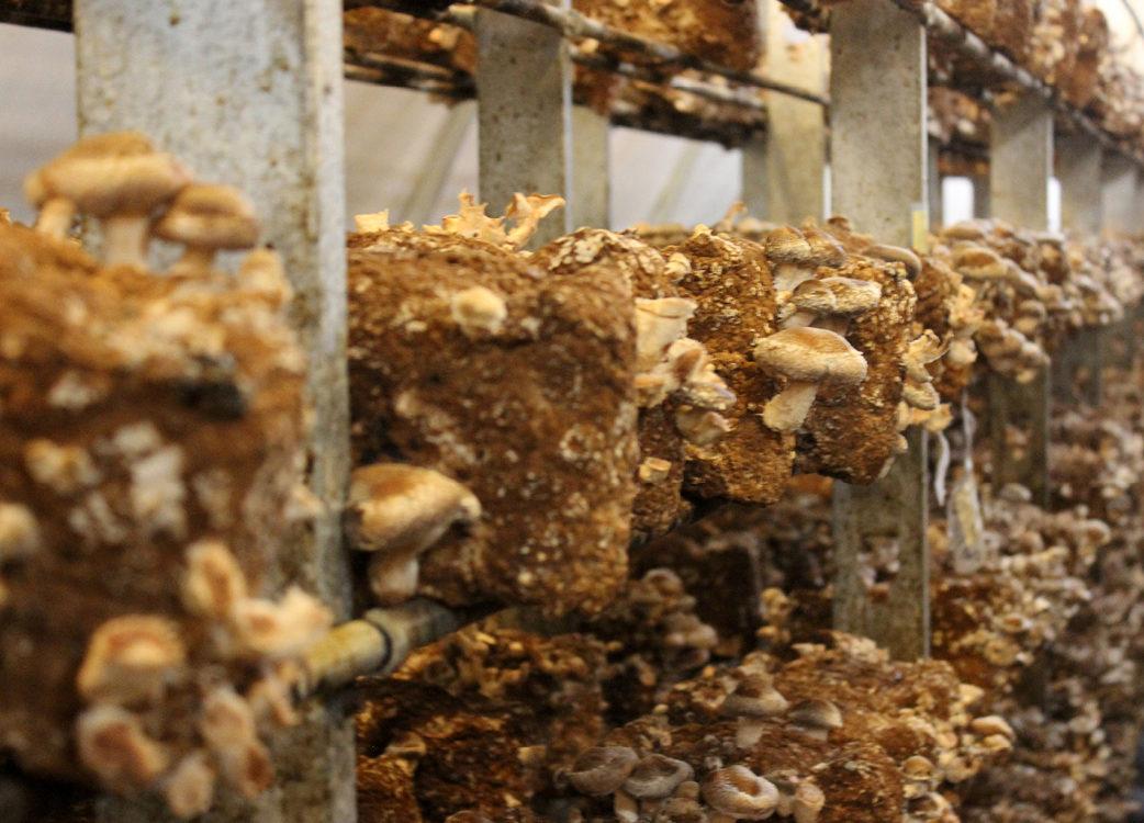 Mushrooms growing off of a shelf